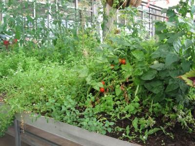 wild tomatoes